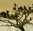 Poachers Target Vultures for Giving them Away