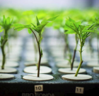 Cannabis Industry Watch: Medipure Pharmaceuticals Positioned Well in 2018